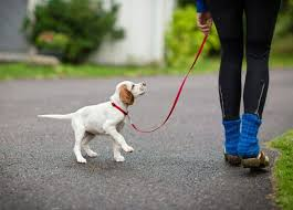 Enjoying your daily walk with your canine best friend.